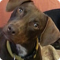 Adopt A Pet :: Bosco - Pinellas Park, FL