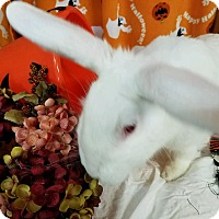 Flemish Giant Mix for adoption in Williston, Florida - Maisie