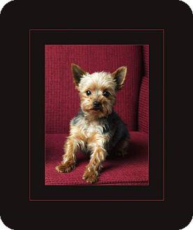 Yorkie, Yorkshire Terrier Mix Dog for adoption in Hadley, Michigan - Milo