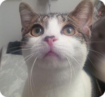 Domestic Shorthair Cat for adoption in Jackson, New Jersey - Brandon