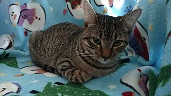 Domestic Shorthair Kitten for adoption in Mt Pleasant, Pennsylvania - Ivy