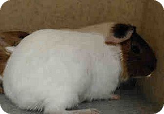 Guinea Pig for adoption in Fullerton, California - *Urgent* Cottonball