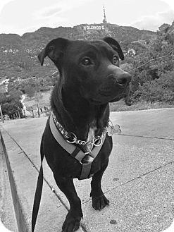 Dachshund/Labrador Retriever Mix Dog for adoption in Los Angeles, California - Puma