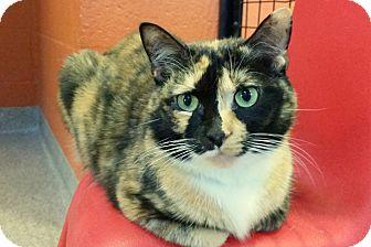 Calico Cat for adoption in Sarasota, Florida - Beyonce