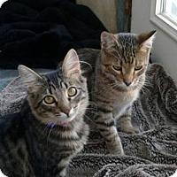 Adopt A Pet :: Kitty Cats - Costa Mesa, CA