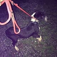 Adopt A Pet :: Rollie - Staunton, VA