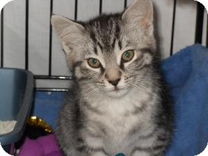 Domestic Shorthair Cat for adoption in Milwaukee, Wisconsin - Joelle