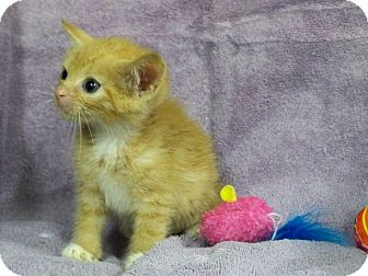Domestic Shorthair Kitten for adoption in Secaucus, New Jersey - Steve