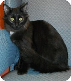 Domestic Longhair Kitten for adoption in Jackson, Michigan - Lilac