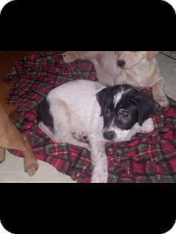 Beagle Mix Puppy for adoption in Albemarle, North Carolina - Rebel