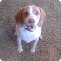 Adopt A Pet :: Colt - Phoenix, AZ