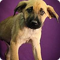 Adopt A Pet :: Gootch - Broomfield, CO
