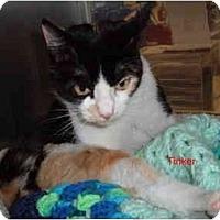 Adopt A Pet :: Tinker - Albany, NY