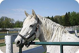 Percheron/Quarterhorse Mix for adoption in Woodstock, Illinois - Lady Godiva