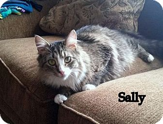 Domestic Mediumhair Cat for adoption in Millersville, Maryland - Sally