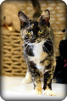 Domestic Shorthair Cat for adoption in Owenboro, Kentucky - SASHA!