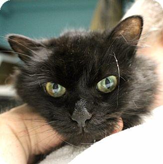 Domestic Mediumhair Cat for adoption in Warwick, Rhode Island - Willow