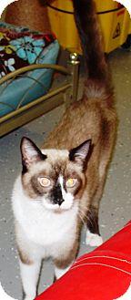 Siamese Cat for adoption in Kalamazoo, Michigan - Jinx