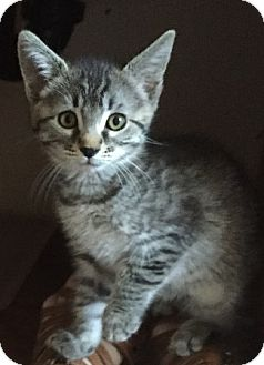 Domestic Shorthair Kitten for adoption in Sacramento, California - Sasha