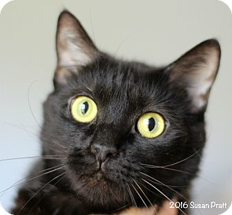 Domestic Shorthair Cat for adoption in Bedford, Virginia - Seven
