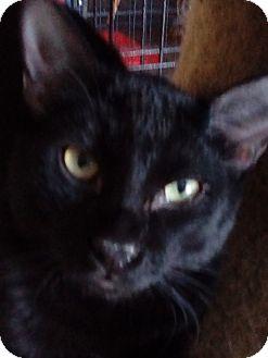 Domestic Shorthair Cat for adoption in Glendale, Arizona - Bear