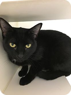 Domestic Shorthair Cat for adoption in Reisterstown, Maryland - Elvira