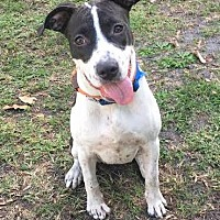 Staffordshire Bull Terrier Mix Puppy for adoption in Boca Raton, Florida - J-LO