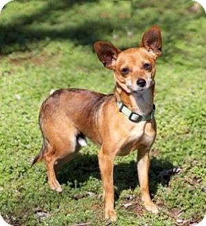 Chihuahua Dog for adoption in Washington, D.C. - LITTLE LEON