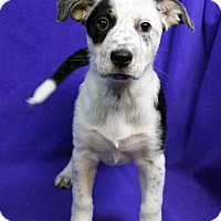 Adopt A Pet :: Kennedy - Westminster, CO