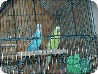 Parakeet - Other for adoption in North Pole, Alaska - Tweetie and Slyvester