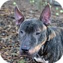 Bull Terrier Dog for adoption in Tinton Falls, New Jersey - Sputnik