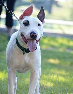 Bull Terrier Mix Dog for adoption in Tomball, Texas - Neo