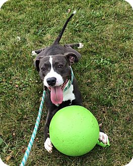 American Staffordshire Terrier/Terrier (Unknown Type, Medium) Mix Dog for adoption in Troy, Michigan - Gearheart