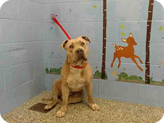 Pit Bull Terrier Mix Dog for adoption in San Bernardino, California - URGENT on 4/6 SAN BERNARDINO