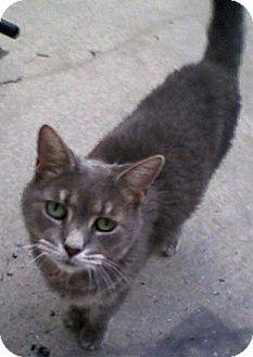 Domestic Shorthair Cat for adoption in Bear, Delaware - Miss Gray