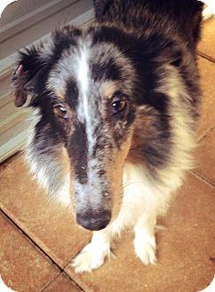 Sheltie, Shetland Sheepdog Mix Dog for adoption in Gainesville, Florida - Cookie
