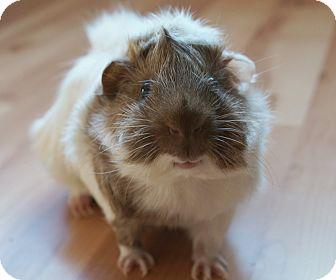 Guinea Pig for adoption in Brooklyn Park, Minnesota - George