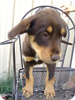 Labrador Retriever Mix Puppy for adoption in Russellville, Kentucky - Miles