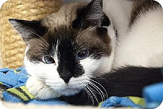 Snowshoe Cat for adoption in Seal Beach, California - Chantilly