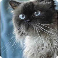 Adopt A Pet :: Cocoa Puff - Columbus, OH