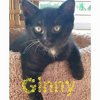 Domestic Shorthair Cat for adoption in Grand Blanc, Michigan - Ginny