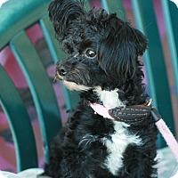 Adopt A Pet :: Cookie - Canoga Park, CA