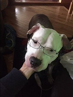 Pit Bull Terrier Mix Dog for adoption in Manhattan, New York - Capitan