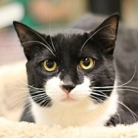 Domestic Shorthair Cat for adoption in Raleigh, North Carolina - Miyoshi