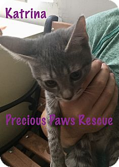 Domestic Shorthair Kitten for adoption in Floral City, Florida - Katrina