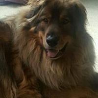 Shepherd (Unknown Type) Mix Dog for adoption in San Diego, California - Wolfie & Bear