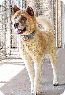 Akita/Siberian Husky Mix Dog for adoption in Lincolnton, North Carolina - Washington
