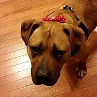 Boxer/Pit Bull Terrier Mix Dog for adoption in Earl, North Carolina - Harlow