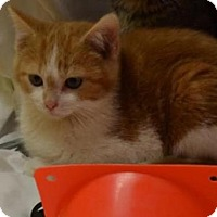 Adopt A Pet :: Marvin - Lincoln, NE