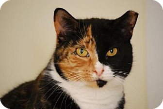 Calico Cat for adoption in Trevose, Pennsylvania - Tori